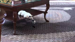 Cat and mouse. Mekong bobtail. Меконгский бобтейл кот и мышь.