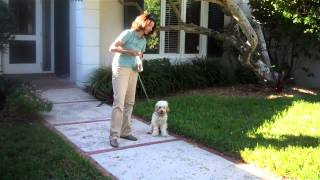 Young Cockapoo Puppy With Trainer Amy Robinson