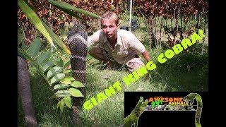 ep 10 king cobra vs man tarantula gecko animal attacks funny animals wildlife snake bite