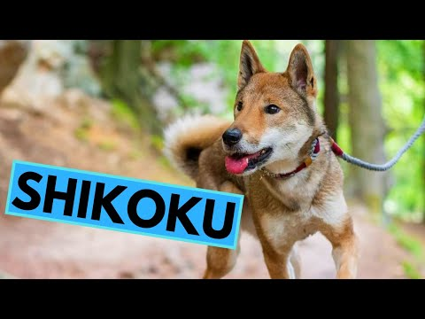 Shikoku Dog Breed  Facts and Information