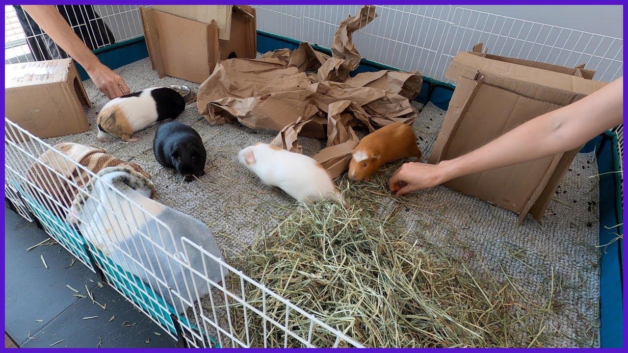 An Easter egg hunt for guinea pig poop 💩
