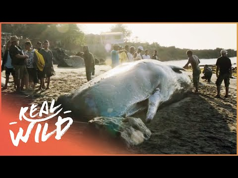 The Deadly Hunting Of The Sperm Whales | 1000 Days For The Planet | Real Wild