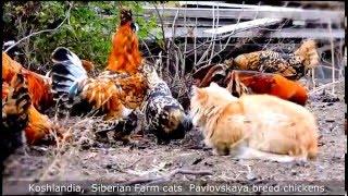 #2 Siberian Farm cats and Rooster Кот да петух, Сибирские кошки и Павловские куры