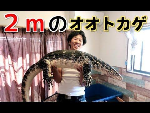2m超のオオトカゲに魚を与えてみたら凄すぎた! 7feet Commonwatermonitor