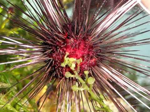 Sea Urchin Eats Macro Algae