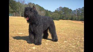 #48 BOUVIER DES FLANDRES  2/3 | Which Dog Should I Get? Dog Breed Selector