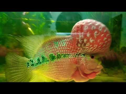 FlowerHorn World's Most Expensive Aquarium Fish - Big Brain - Chinese Tattoo
