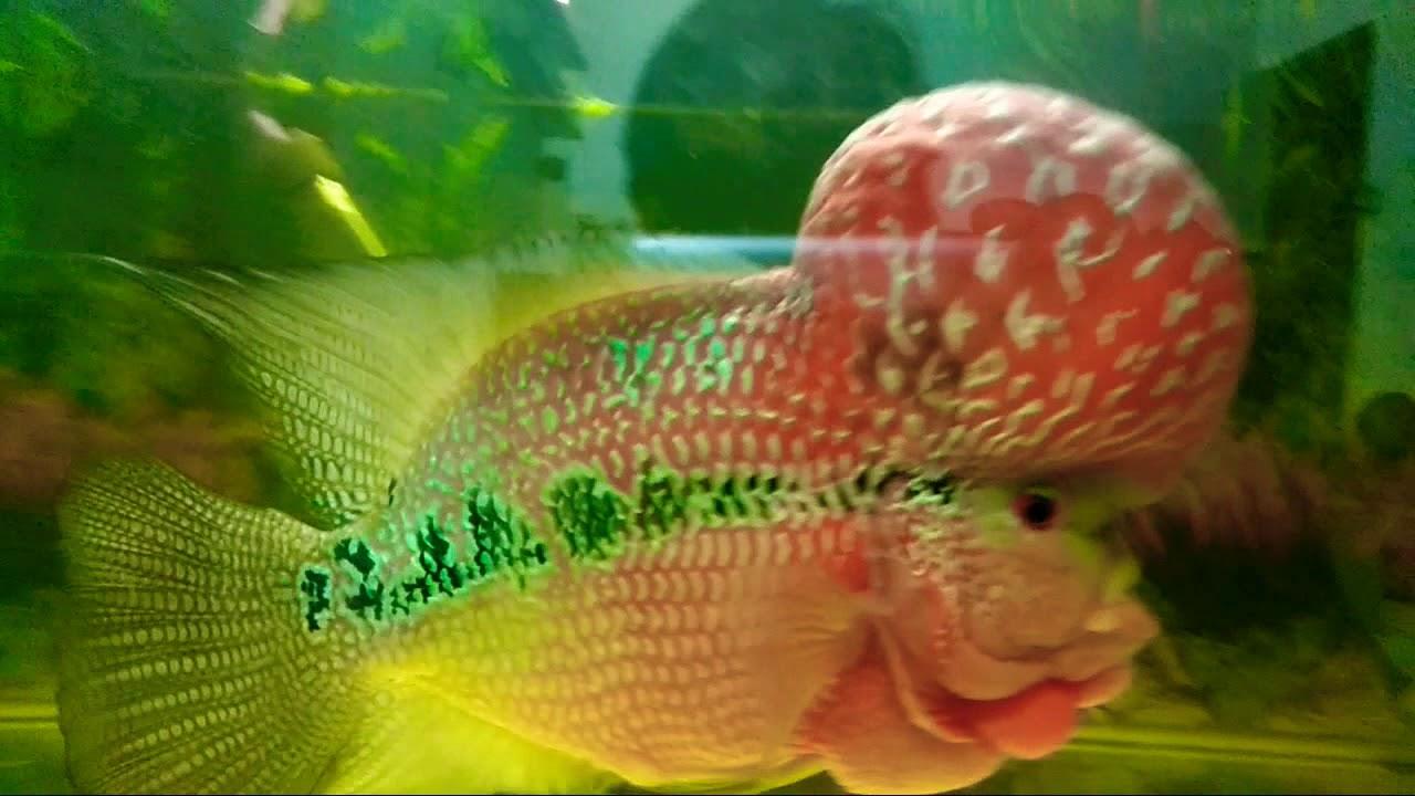 Flowerhorn World S Most Expensive Aquarium Fish Big Brain
