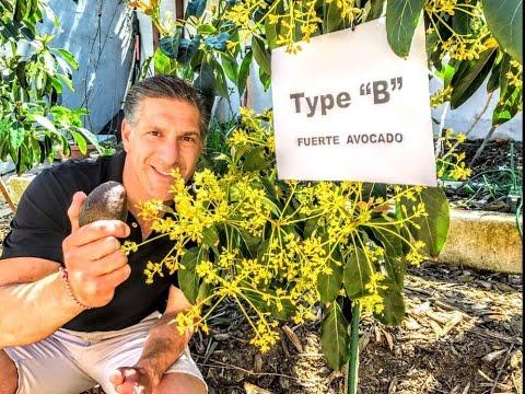 "AVOCADO FLOWER ANATOMY  |  Type ""A"" & Type ""B"" Avocados |  SELF- POLLINATION & CROSS-POLLINATION"