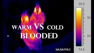 Warm and Cold – Blooded Pigeons Breed – Warm – Blooded vs. Cold Blooded