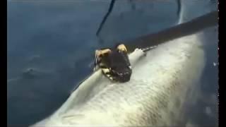 Анаконда  подводная  охота   Миниатюры   Змей 2(Видеозарисовка выдающегося кинолюбителя, подводного охотника YAWOR (ЯВР) От автора: Три раза он приходил и..., 2009-08-28T21:22:39.000Z)