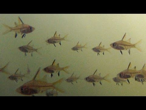 Native Fish: North-west Glassfish (Ambassis Sp.), Finniss River Catchment, Northern Territory