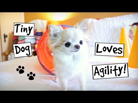 CUTE PUPPY sized chihuahua TINY dog AGILITY track FUN