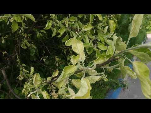 Жёлтые листья на яблоне.Причины хлороза листьев яблони | хлороза | причины | яблоне | хлороз | листья | жёлтые | на