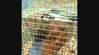 How To Catch A Squirrel  Rabbit In A Cage Trap