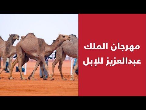 مهرجان الملك عبدالعزيز للإبل .. تظاهرةٌ محليةٌ عربيةٌ .. وقريباً وجهةٌ عالمية..