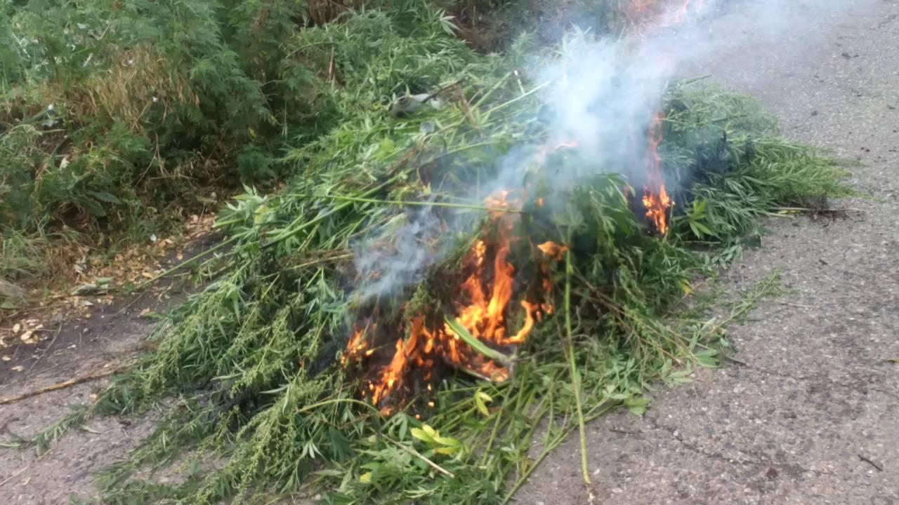 Сжигание поле конопли конопля и ее плюсы