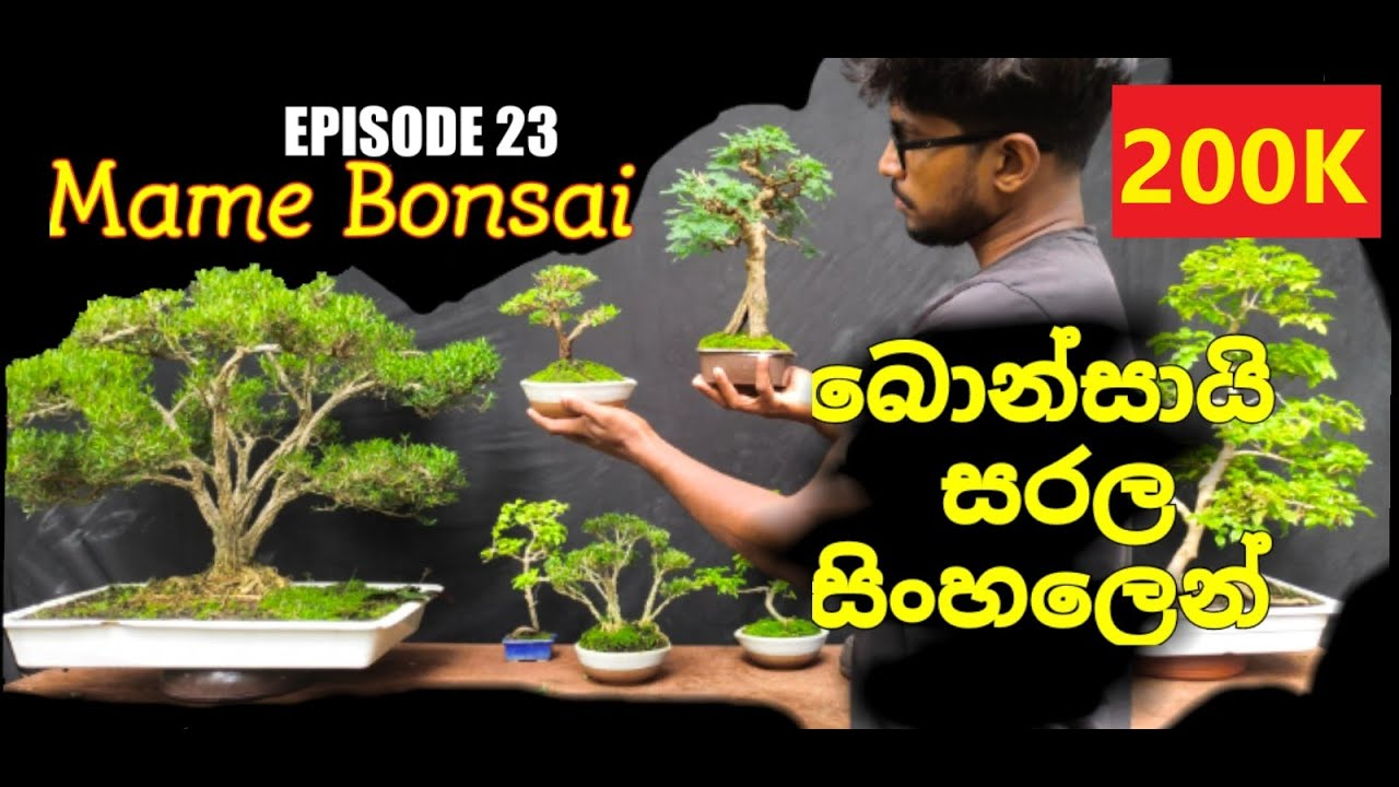 Download නිවසේදී කුඩා බොන්සායි ගසක් සාදා ගන්නේ කෙසේද? how to make mame bonsai tree at home EPISODE 23