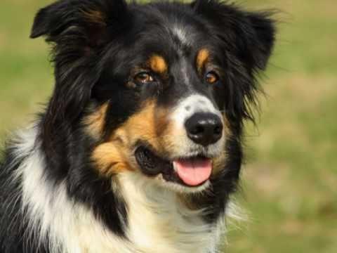 Border Collie - o cão mais inteligente!