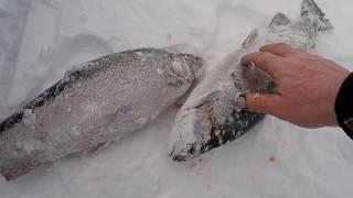 Форель Хариус Рыбалка Зима Если находишь незабываемые поклёвки и вываживания