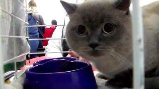 🐱 Очень Красивый и 🙀 Сильно Испуганный Шотландский Кот | ПОРОДЫ КОШЕК
