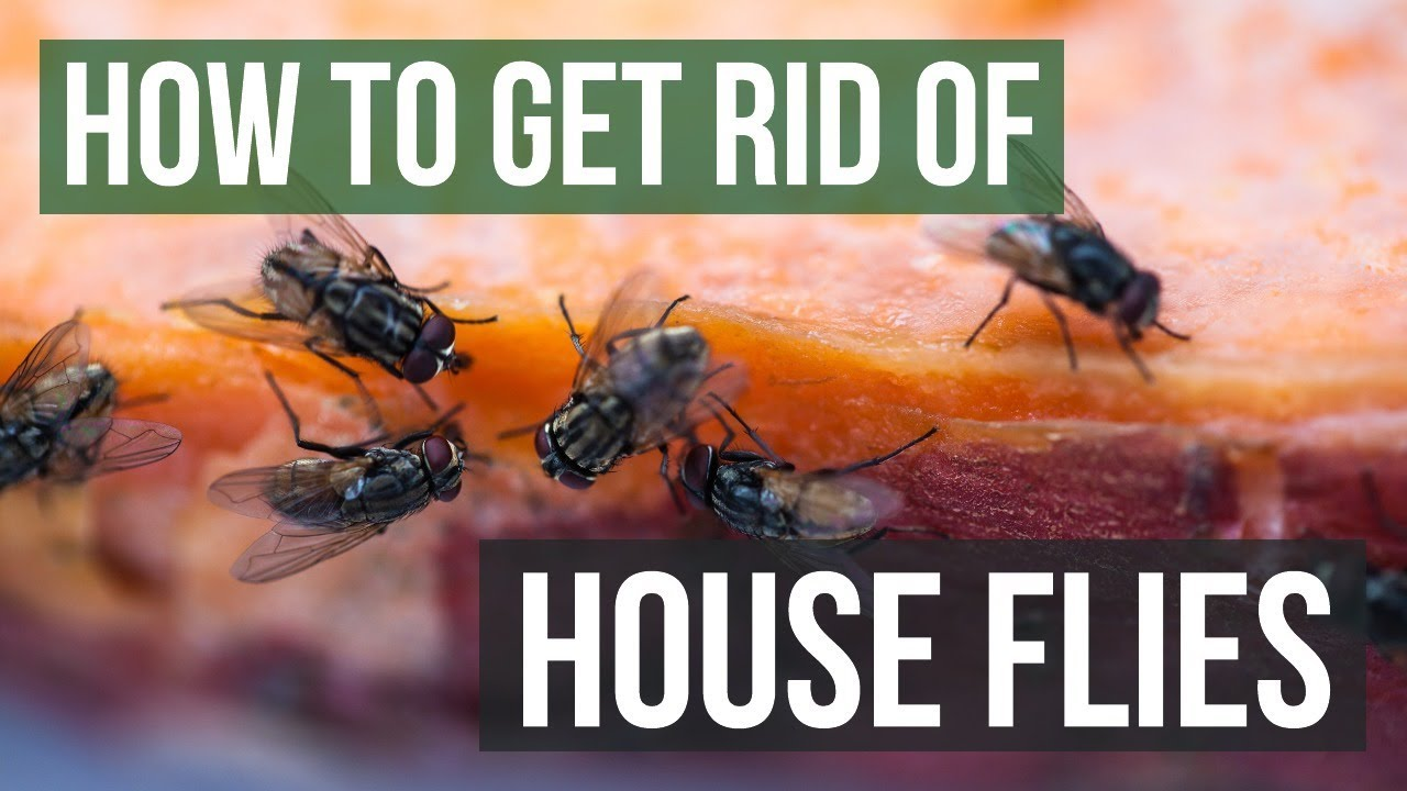 How To Get Rid Of House Flies 4 Simple
