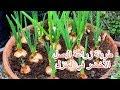 زراعة الزنجبيل في المنزل  1  - YouTube