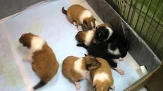 コリーの子犬たち、生後2週間過ぎました。ぼちぼち、兄弟姉妹でじゃれ...