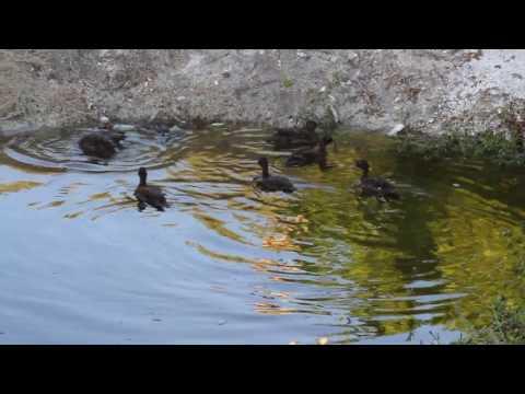 Laysan Ducks in Kure Atoll State Wildlife Sanctuary, Papahanaumokuakea Marine National Monument