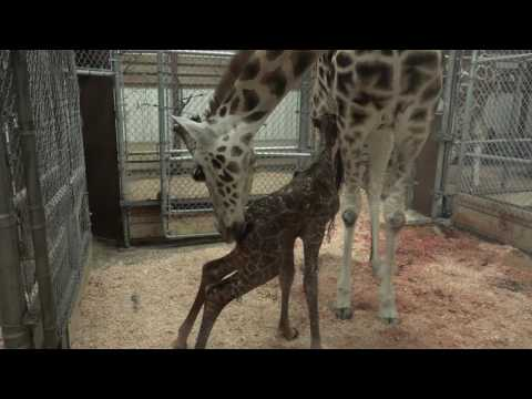 Seattle's tallest baby: giraffe born at Woodland Park Zoo