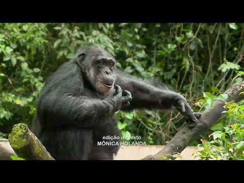 Os 60 anos do chimpanzé