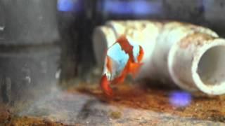 F1 PNG Lightning Maroon Clownfish LM4 Thumbnail