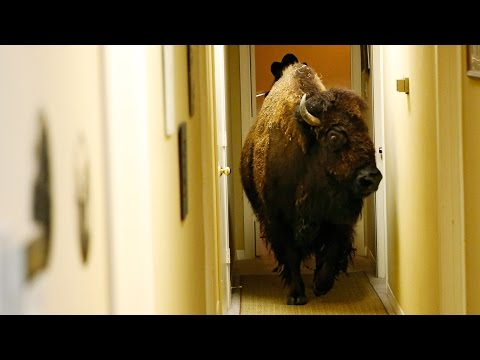 Bullet the Bison is Looking For a New Home