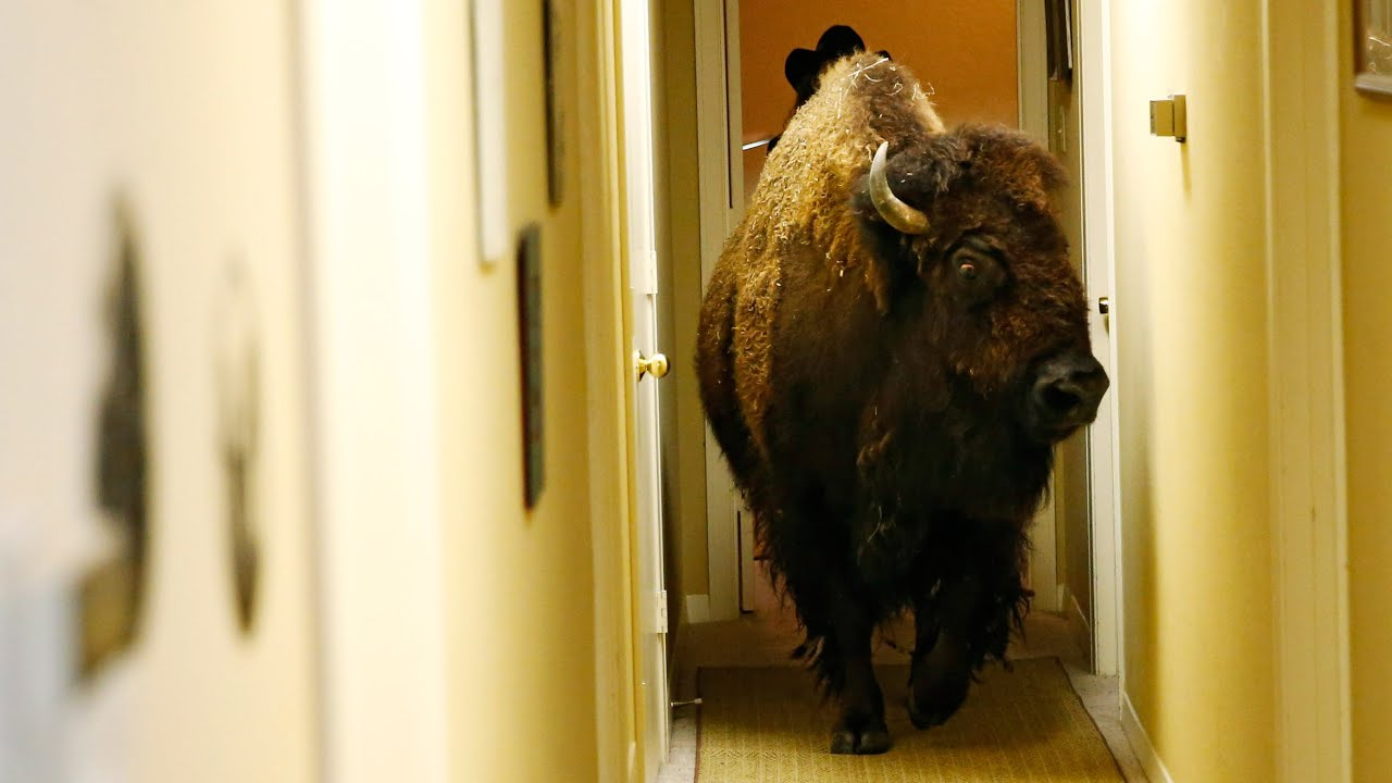 House-trained bison with 'great personality' finds a new home | Life