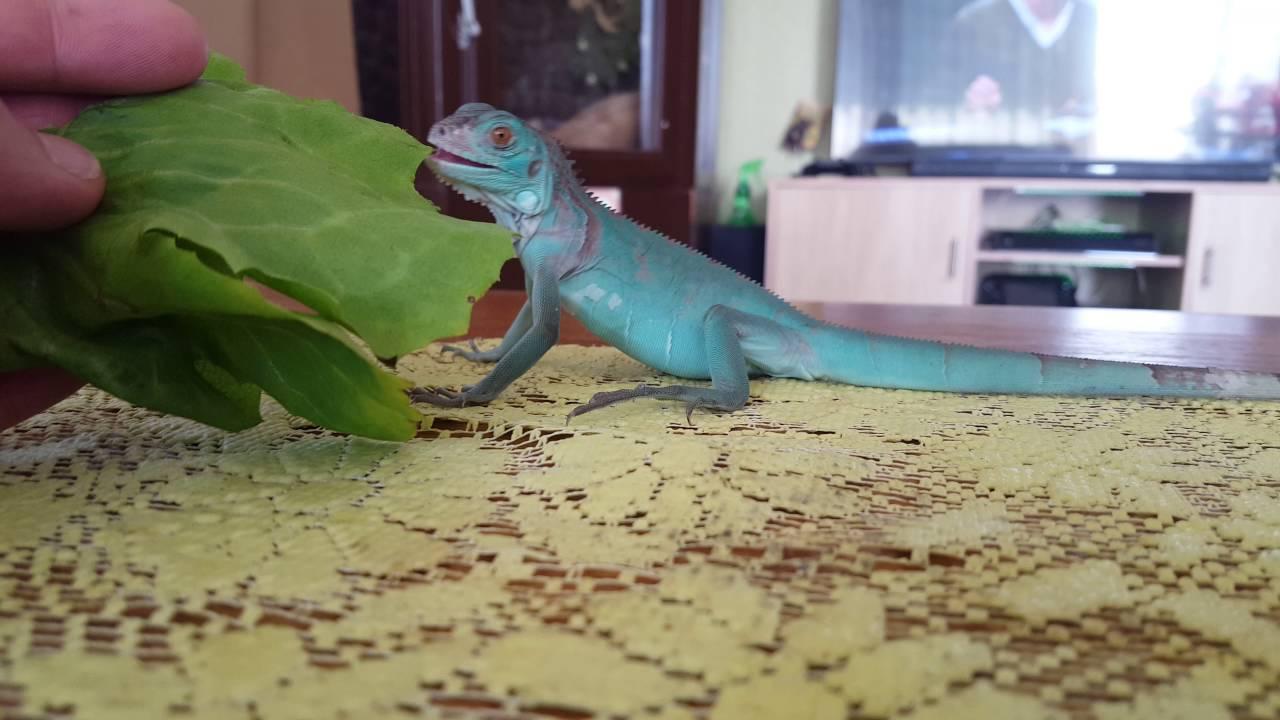 Young Blue Iguana Eating 2160P 4K