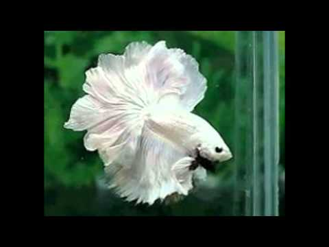 Vari t de poisson combattant en image youtube - Poisson image ...