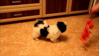 Shih Tzu Puppy Male White-black Color