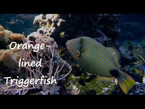Orange-lined Triggerfish - Tropical Reef Fish (6)
