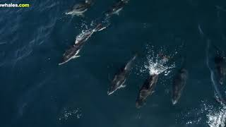Dolphins Ride on Humpback Whales in Monterey Bay