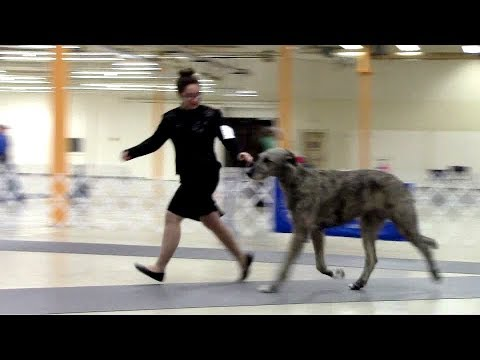 2-25-18 South Arkansas Kennel Club - Irish Wolfhounds