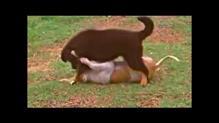 Central Asian Shepherd Dog - 中央アジアの古代の品種。それは人工的な...