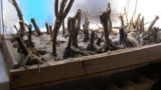 Георгины - хранение посадка и уход 1й выпуск(Это первый выпуск трилогии видеосюжетов о георгинах. Новаторский метод хранения и посадки клубней сортовы..., 2013-04-01T22:12:03.000Z)
