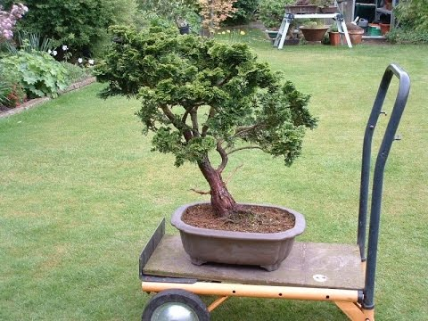 False Cypress (Chamaecyparis) Bonsai Tree