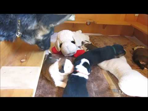 Bernese Mountain Dog mix puppies - 2-13 days old