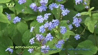 Kaukasische vergeet-mij-niet - Brunnera macrophylla