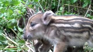 Baby boar piglets - little fighters
