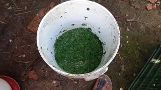 Cara membuat pakan alternatif daun singkong agar lele lebih sehat dan cepat besar