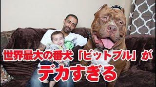 【2chより】世界最大の番犬「ピットブル」がデカすぎる!!17ヶ月でこの...