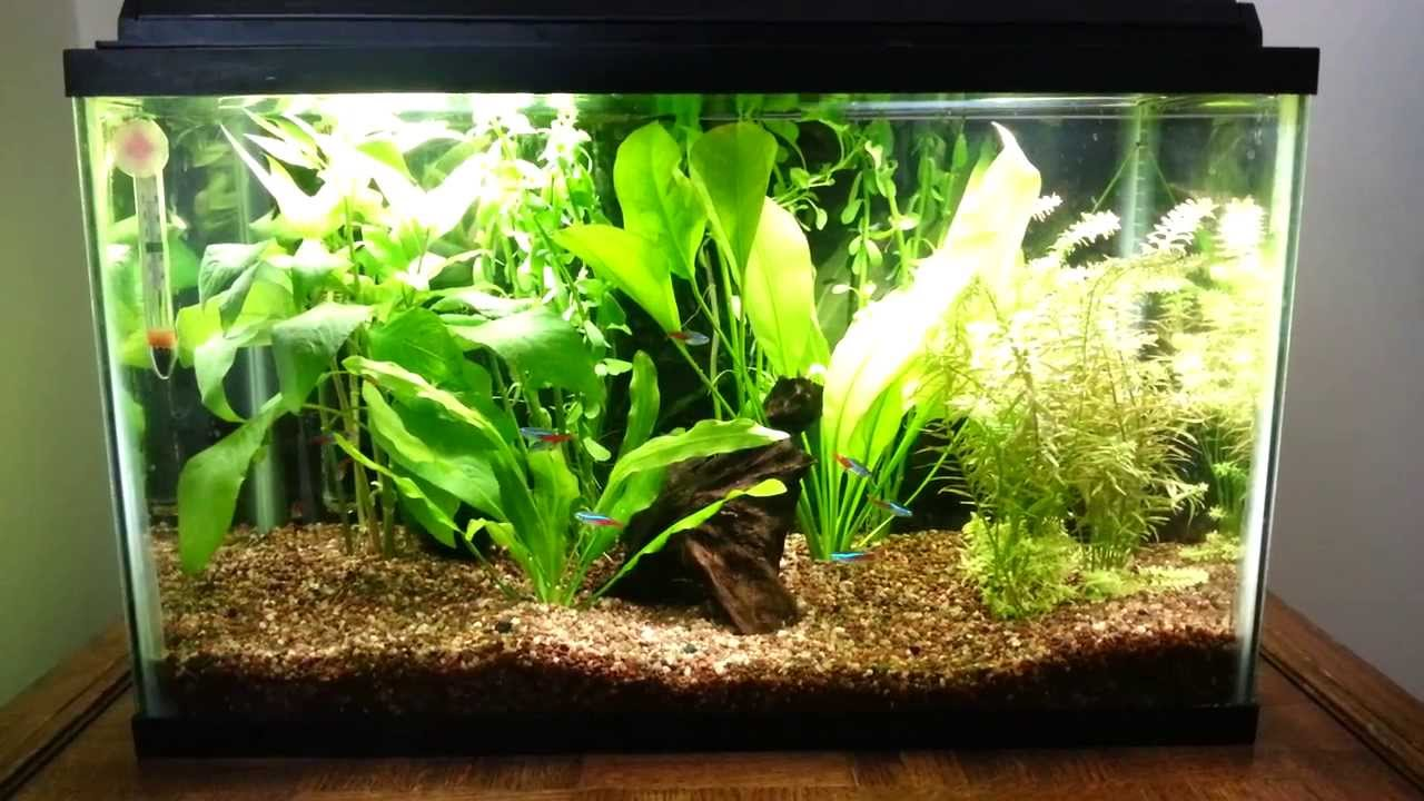Neon tetras in 10 gal planted tank youtube for Neon fish tank