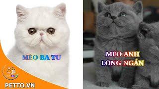 Top 5 Giống Mèo Cảnh Phổ Biến Nhất Tại Việt Nam
